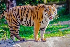 Indochinese tiger, or Corbett`s tiger, or Panthera tigris corbet Royalty Free Stock Photos
