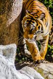 Indochinese tiger, or Corbett`s tiger, or Panthera tigris corbet Royalty Free Stock Images
