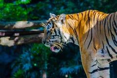 Indochinese tiger, or Corbett`s tiger, or Panthera tigris corbet Stock Image