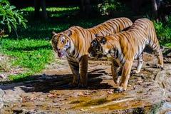 Indochinese tiger, or Corbett`s tiger, or Panthera tigris corbet Royalty Free Stock Photo