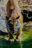 Indochinese tiger, or Corbett`s tiger, or Panthera tigris corbet Stock Photos