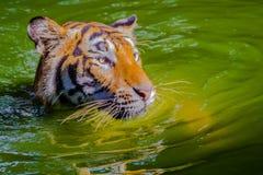 Indochinese tiger, or Corbett`s tiger, or Panthera tigris corbet Royalty Free Stock Image