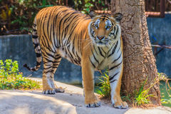 Indochinese tiger, or Corbett's tiger, or Panthera tigris corbet Stock Images