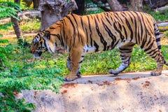 Indochinese tiger, or Corbett's tiger, or Panthera tigris corbet Stock Image