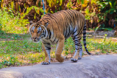 Indochinese tiger, or Corbett's tiger, or Panthera tigris corbet Stock Photography