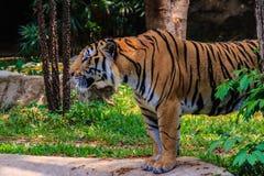 Indochinese tiger, or Corbett's tiger, or Panthera tigris corbet Royalty Free Stock Photos