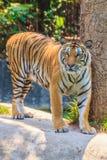 Indochinese tiger, or Corbett's tiger, or Panthera tigris corbet Royalty Free Stock Image