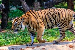 Indochinese tiger, or Corbett's tiger, or Panthera tigris corbet Stock Photos