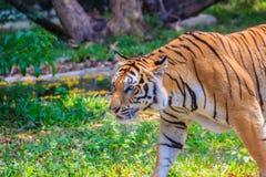 Indochinese tiger, or Corbett's tiger, or Panthera tigris corbet Stock Photo