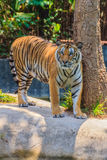 Indochinese tiger, or Corbett's tiger, or Panthera tigris corbet Royalty Free Stock Images