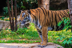 Indochinese tiger, or Corbett's tiger, or Panthera tigris corbet Royalty Free Stock Photography