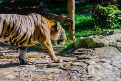Indochinese tiger, or Corbett`s tiger, or Panthera tigris Royalty Free Stock Photos