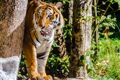 Indochinese tiger, or Corbett`s tiger, Stock Photography