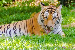 Indochinese tiger, or Corbett`s tiger Royalty Free Stock Images