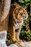 Indochinese tiger, or Corbett`s tiger, or Panthera tigris corbetti Royalty Free Stock Photo
