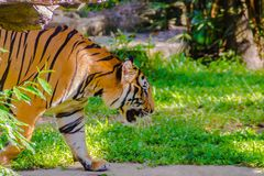 Indochinese tiger, or Corbett`s tiger Stock Photos