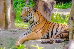 Indochinese tiger, or Corbett`s tiger Stock Images