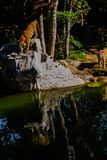 Indochinese tiger, or Corbett`s tiger Royalty Free Stock Image