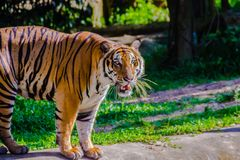 Indochinese tiger, or Corbett`s tiger Stock Image