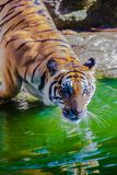 Indochinese tiger, or Corbett`s tiger Royalty Free Stock Photo
