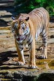 Indochinese tiger, or Corbett`s tiger Stock Photography