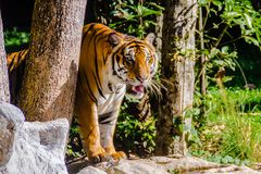 Indochinese tiger, or Corbett`s tiger Royalty Free Stock Photos