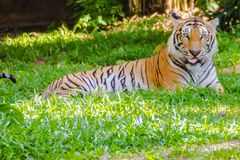 Indochinese tiger, or Corbett`s tiger, or Panthera tigris corbetti Stock Image