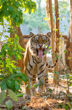 Indochinese tiger facial expression Stock Photos