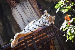 Indochinese tiger. Relax On the tree at zoo Stock Photography