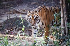Indochinese tiger. Walking disguise find food Royalty Free Stock Image
