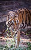Indochinese tiger. Walking disguise find food Royalty Free Stock Photo