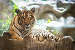Indochinese tiger Stock Images