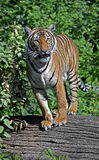 Indochinese tiger 2 Stock Images
