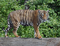 Indochinese tiger 3. Indochinese tiger. Latin name - Panther tigris corbetti Royalty Free Stock Images