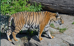 Indochinese tiger 4 Stock Images