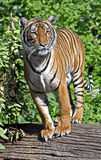Indochinese tiger 5 Stock Images