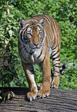 Indochinese tiger 6 Stock Image