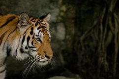 Indochinese tiger Royalty Free Stock Image