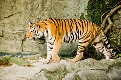 Indochinese tiger Royalty Free Stock Photography