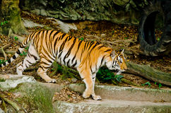 Indochinese tiger Stock Image