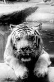INDOCHINESE TIGER Panthera tigris corbetti stock image