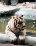 INDOCHINESE TIGER Panthera tigris corbetti royalty free stock photo