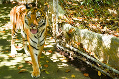 Indochinese tiger Royalty Free Stock Images