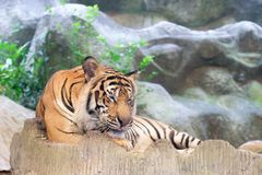 INDOCHINESE TIGER Panthera tigris corbetti in the zoo. At Thailand royalty free stock photos