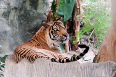 INDOCHINESE TIGER Panthera tigris corbetti in the zoo. At Thailand stock photography