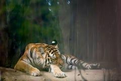 INDOCHINESE TIGER Panthera tigris corbetti stock photo