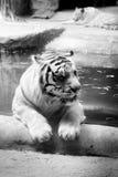 INDOCHINESE TIGER Panthera tigris corbetti stock photography