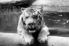 INDOCHINESE TIGER Panthera tigris corbetti in the zoo. At Thailand royalty free stock photography