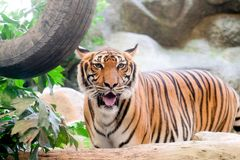 INDOCHINESE TIGER Panthera tigris corbetti in the zoo. At Thailand royalty free stock image