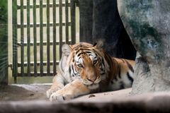INDOCHINESE TIGER Panthera tigris corbetti in the zoo. At Thailand stock photos